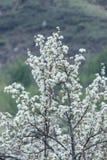 Manzanos florecidos Naturaleza en Tekeli Primavera kazakhstan foto de archivo