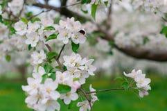 Manzanos florecientes Fotografía de archivo libre de regalías