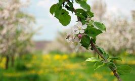 Manzanos florecientes Foto de archivo libre de regalías