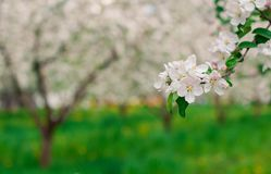 Manzanos florecientes Fotos de archivo