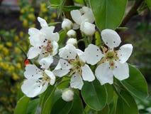 Manzanos florecientes Fotos de archivo libres de regalías