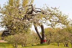 Manzanos florecientes en el manzanar de la primavera Foto de archivo