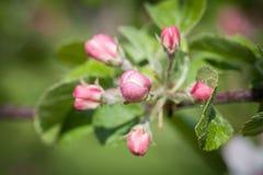 Manzanos florecientes en el manzanar de la primavera Imagen de archivo libre de regalías