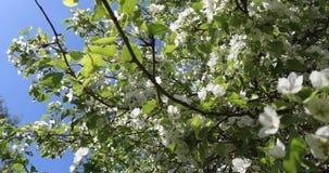 Manzanos florecientes en primavera Flores blancas y rosadas hermosas de los manzanos en un fondo del cielo verde y azul almacen de metraje de vídeo
