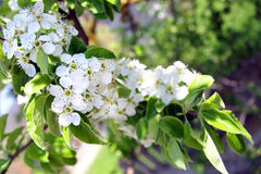 Manzanos florecientes en un jardín de la primavera Fotos de archivo