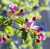 Manzanos florecientes Flor rosada del árbol frutal contra luces del sol Imagen de archivo libre de regalías
