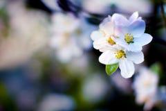 Manzanos florecientes hermosos Fotografía de archivo