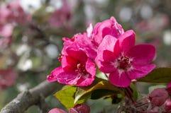 Manzanos ornamentales florecientes de la primavera Apple salvaje Nieddzwetzkyana Fotografía de archivo libre de regalías