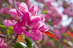 Manzanos ornamentales florecientes de la primavera Apple salvaje Nieddzwetzkyana Foto de archivo libre de regalías