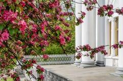 Manzanos ornamentales florecientes de la primavera Apple salvaje Nieddzwetzkyana Fotos de archivo