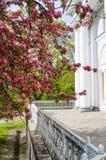 Manzanos ornamentales florecientes de la primavera Apple salvaje Nieddzwetzkyana Fotos de archivo libres de regalías