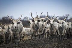 Manzo grigio ungherese tradizionale, orda del bestiame Fotografia Stock
