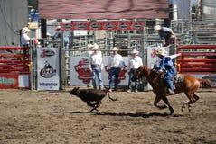 Manzo roping del cowboy Immagini Stock Libere da Diritti