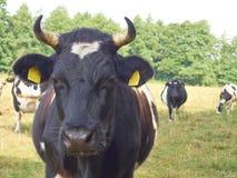 Manzo variopinto nero tedesco della pianura Immagine Stock Libera da Diritti