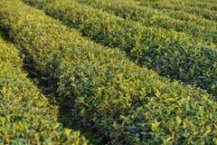 Maojiabu-Tee-Garten lizenzfreies stockbild