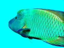 Maori Wrasse fish Great Barrier Reef Queensland Australia. Scuba diving on the Great Barrier Reef Queenslsng Stock Photo