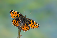 The map - Araschnia levana. A butterfly, The map - Araschnia levana Stock Photography