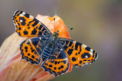 The map - Araschnia levana. A butterfly, The map - Araschnia levana Royalty Free Stock Photo
