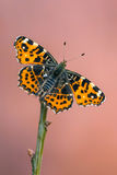 The map - Araschnia levana. A butterfly, The map - Araschnia levana Stock Photo