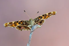 The map - Araschnia levana. A butterfly, The map - Araschnia levana Royalty Free Stock Images