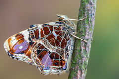 The map - Araschnia levana. A butterfly, The map - Araschnia levana Stock Photos