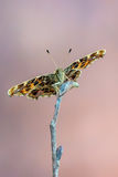 The map - Araschnia levana. A butterfly, The map - Araschnia levana Stock Images