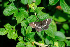 Map (Araschnia levana). Map butterfly (Araschnia levana), summer brood on leaf of dog-rose Royalty Free Stock Images