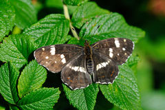 Map (Araschnia levana). Map butterfly (Araschnia levana), summer brood on leaf of dog-rose Stock Photo