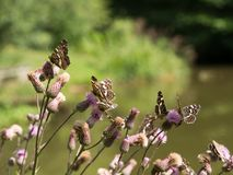 The map butterflies Araschnia levana - second generation royalty free stock photography