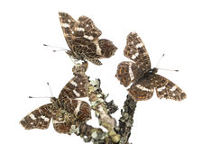 Map butterflies landed on branches, Araschnia levana, isolated. On white Royalty Free Stock Image