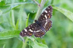 Map butterfly. (Araschnia levana)  sits on a leaf of grass Stock Photo