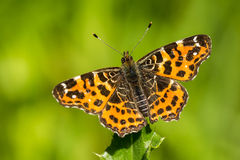 The map butterfly (araschnia levana). Resting in the grass Royalty Free Stock Photos