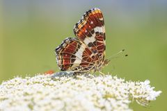 The map butterfly araschnia levana close-up portrait side view royalty free stock image