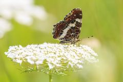 The map butterfly araschnia levana close-up portrait side view stock photography