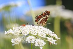 The map butterfly araschnia levana close-up portrait side view stock image