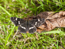 Map Butterfly - Araschnia levana. On dead leaf in grass Stock Photos