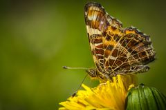 Map butterfly Araschnia levana stock photography