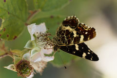 Map butterfly Araschnia levana. A map butterfly Araschnia levana on a flower Stock Photo