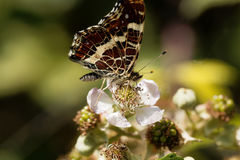 Map butterfly Araschnia levana. A map butterfly Araschnia levana on a flower Royalty Free Stock Photos