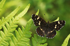 Map butterfly royalty free stock images