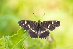The map butterfly araschnia levana open wings close-up stock photography