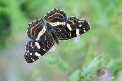 The map butterfly, Araschnia levana prorsa Stock Photo