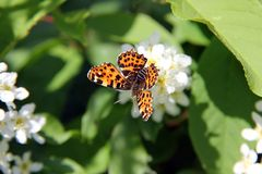 Map Butterfly, Araschnia levana on Prunus Padus Stock Photos