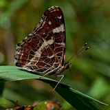 The map butterfly, Araschnia levana. Resting in the leaf Royalty Free Stock Photography