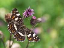The map butterfly Araschnia levana - second generation stock image