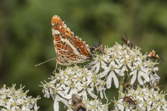 Map butterfly (Araschnia levana) Royalty Free Stock Photography