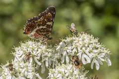 Map butterfly (Araschnia levana) Royalty Free Stock Photo