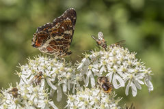 Map butterfly (Araschnia levana). A map butterfly is sitting on a flower Stock Image