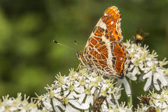 Map butterfly (Araschnia levana). A map butterfly is sitting on a flower Royalty Free Stock Photography