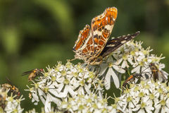 Map butterfly (Araschnia levana). A map butterfly is sitting on a flower Royalty Free Stock Image